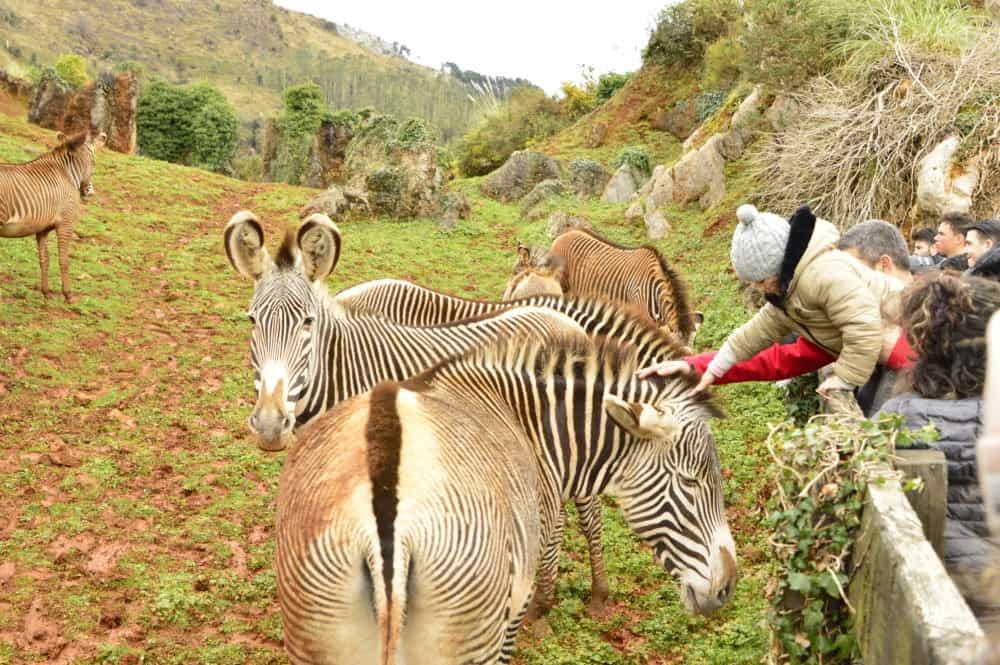 Cebras en el Parque de Cabárceno en Cantabria