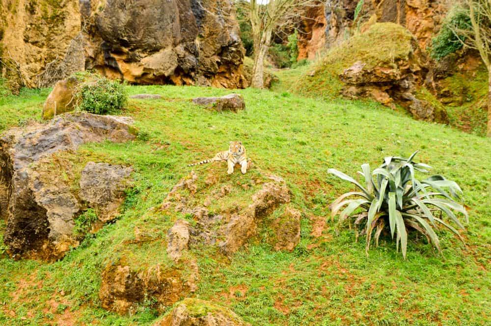 Tigre en el Parque de Cabárceno en Cantabria