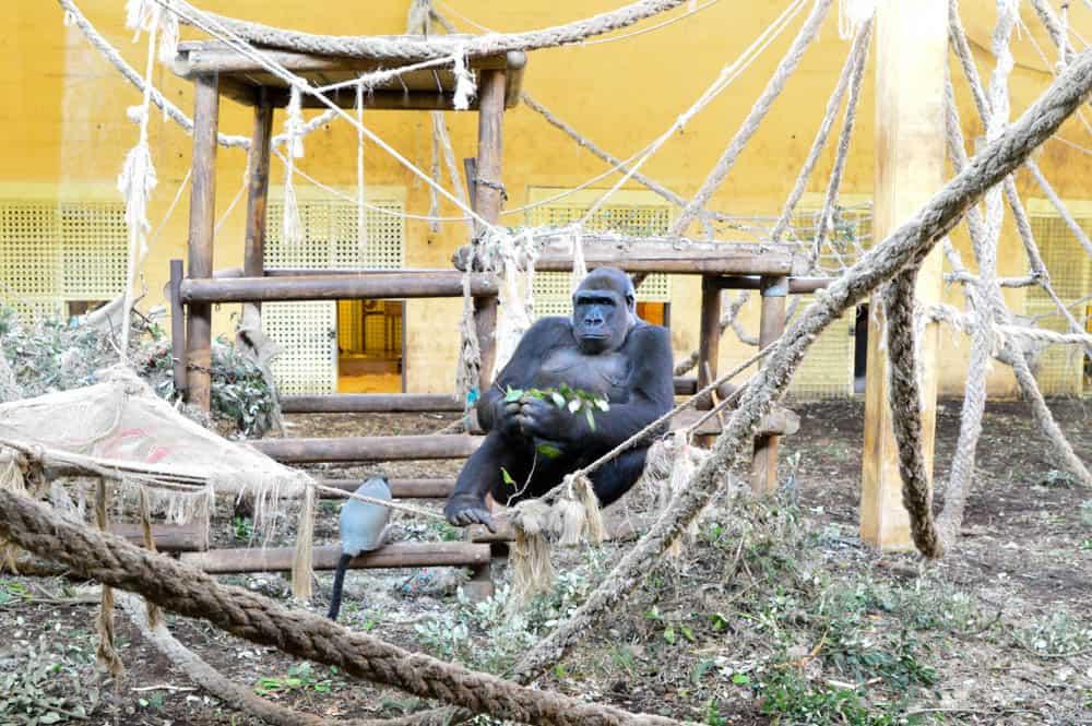 Gorilas en el Parque de Cabárceno en Cantabria